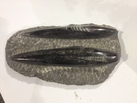 Orthoceras Fossil Plaque Small
